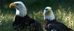 Eagle Aviary Closed for Nesting