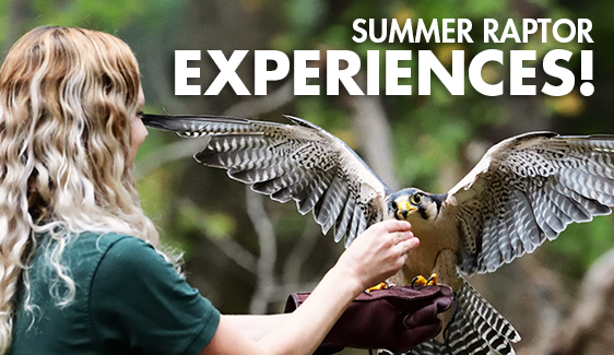 Summer Raptor Experiences