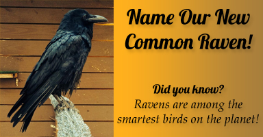 Name Our New Common Raven!