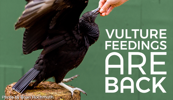 Vulture Feedings are Back!