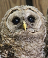 Patient #20472, Baby Barred Owl